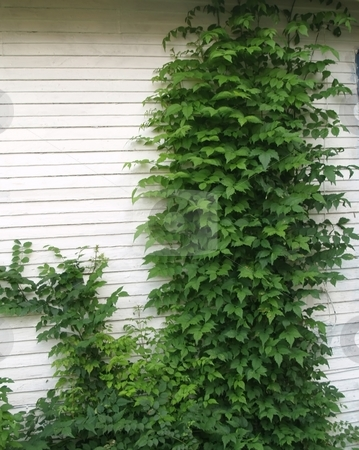 Green ivy stock photo, Green ivy plant climbing up the side of a wooden wall by Michelle Bergkamp