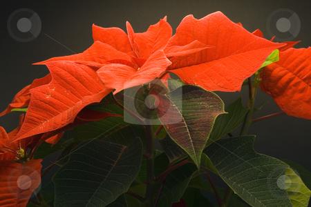 Poinsettia stock photo, Poinsettia Pulcherrima - christmas flower - seasonal decoration - close up by Petr Koudelka