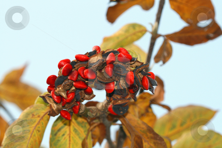 Red Berries stock photo, A bunch of red berries on a tree - macro by Petr Koudelka