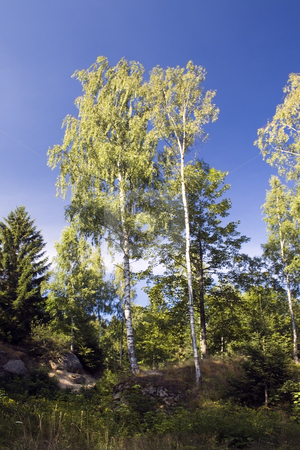 Birch Trees stock photo, A couple of birch trees against the dark blue sky by Petr Koudelka