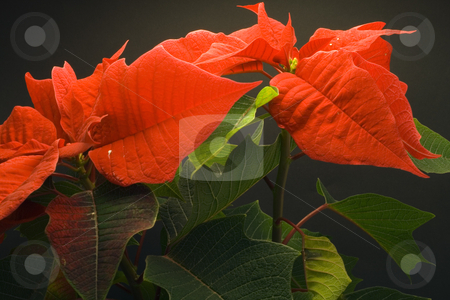 Poinsettia stock photo, Poinsettia Pulcherrima - christmas flower - seasonal decoration - close up by Petr Koudelka