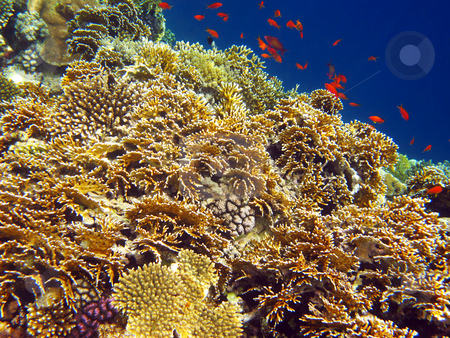 Net fire coral stock photo, Tropical fishes and coral reef by Roman Vintonyak