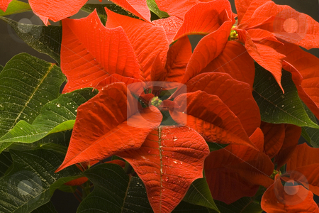 Poinsettia with droplets of water stock photo, Poinsettia Pulcherrima - christmas flower - seasonal decoration - close up by Petr Koudelka