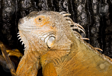 Iguana iguana stock photo, Face and head of an adult female Iguana iguana by Petr Koudelka