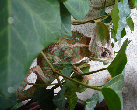 Chameleon on Ivy stock photo, This little acrobat seems to like this ivy vyry much by Petr Koudelka