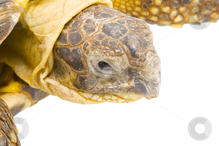 Testudo horsfieldi stock photo, A young tortoise - Testudo horsfieldi - on the white background - close up by Petr Koudelka