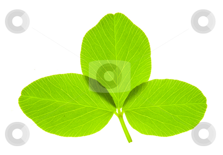 Trefoil stock photo, Detail of a trefoil leaf blade of clover - macro by Petr Koudelka