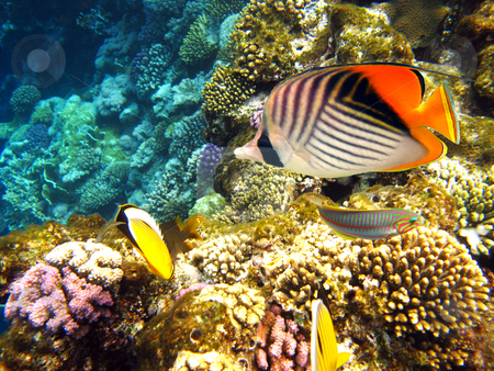 Threadfin butterflyfish stock photo, Tropical fishes and coral reef by Roman Vintonyak