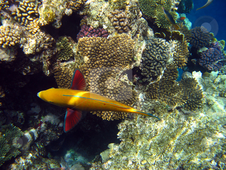 Sheephead parrotfish and coral reef stock photo, Tropical fish and coral reef by Roman Vintonyak