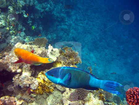 Parrot fishes stock photo, Tropical fishes and coral reef by Roman Vintonyak