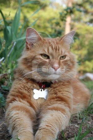 Orange Tabby Cat stock photo, Orange tabby cat resting in the yard. by Debbie Hayes