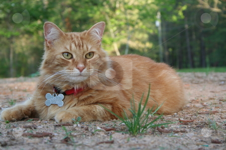 Orange Tabby Cat stock photo, Orange tabby cat resting in the yard. by Debbie Hayes