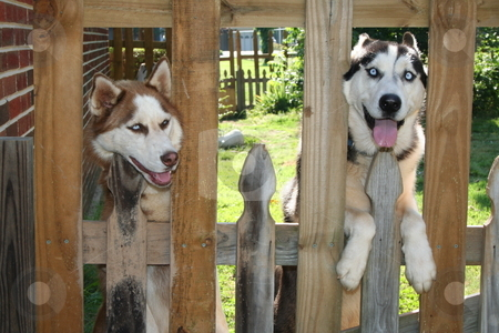 Huskies Looking Through the Fence stock photo, A female and male Husky peering through a fence by Debbie Hayes