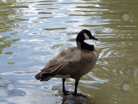 Canada Goose On Rock stock photo, A Canada goose (Branta canadensis) standing on a stone in water. by Kathy Piper