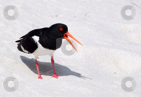 An oystercatcher bird (Haematopus ostralegus) making a warning sound with its orange beak open. stock photo, An oystercatcher bird (Haematopus ostralegus) making a warning sound with its orange beak open. by Stephen Rees