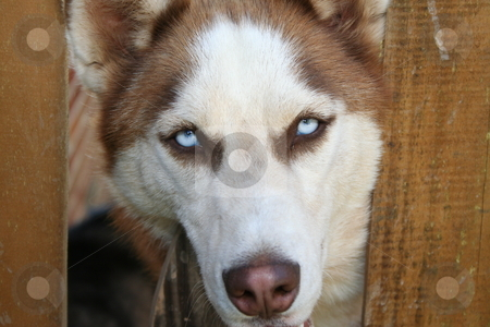 Husky canine stock photo, Female Husky peering through a fence by Debbie Hayes