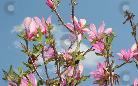 Japanese Magnolia stock photo, Bloom on a Japnese Magnolia tree by Debbie Hayes