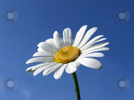 A large summer daisy against a blue sky. stock photo, A large summer daisy against a blue sky. by Stephen Rees