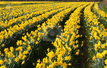 A field of daffodils in bloom, Cornwall, UK. stock photo, A field of daffodils in bloom, Cornwall, UK. by Stephen Rees