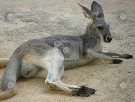 Kangaroo stock photo,  by Ritu Jethani