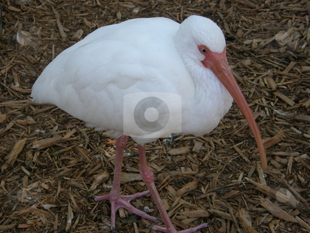 Stork stock photo,  by Ritu Jethani