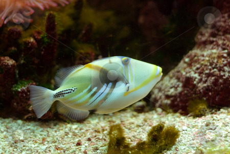 Piccaso Trigger Fish stock photo, A colorful marine fish called the Piccaso Trigger by Richard Nelson