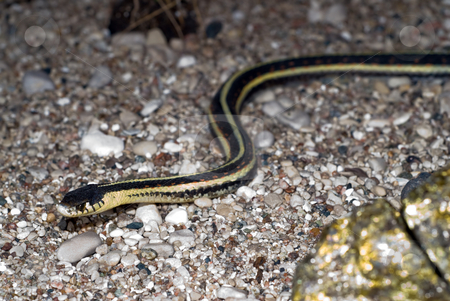 Garter Snake stock photo, Closeup view of a garter snake slithering on the ground by Richard Nelson