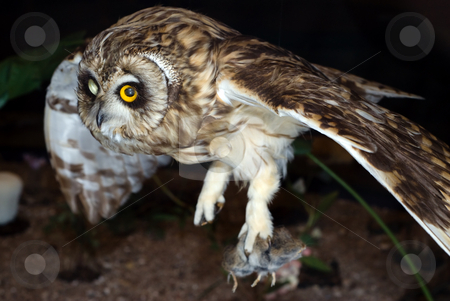 Owl Hunting At Night stock photo, A brown owl flying and hunting at night by Richard Nelson