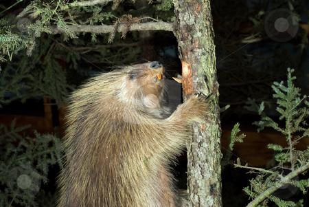 Beaver Climbing A Tree stock photo, A large brown beaver climbing a tree by Richard Nelson