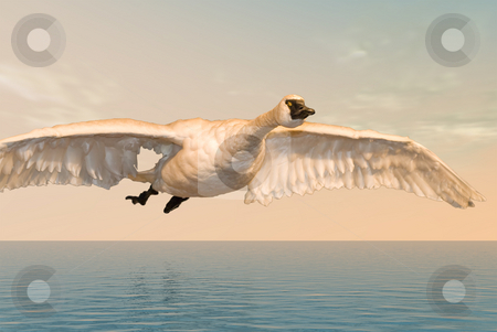 Freedom stock photo, A large white goose flying in the open sky by Richard Nelson