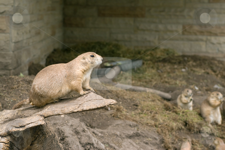 Black-tailed Prairie Dog stock photo, A black-tailed prairie dog sitting on a rock by Richard Nelson
