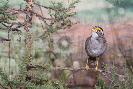 Song Bird stock photo, A small song bird sitting on a branch outside by Richard Nelson