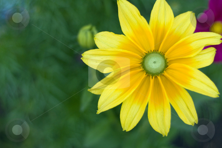 Yellow Flower stock photo, A big yellow flower with large petals by Richard Nelson