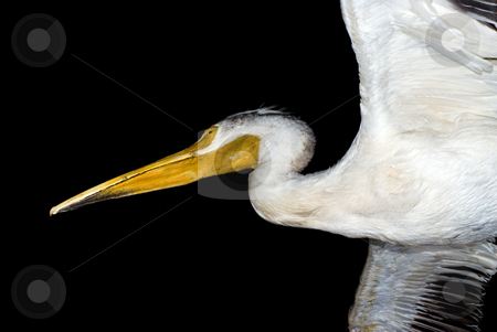 Isolated Pelican stock photo, A large white pelican isolated on a black background by Richard Nelson