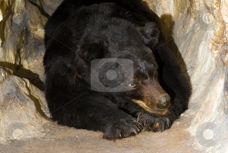 Black Bear stock photo, An adult black bear lying in a cave by Richard Nelson
