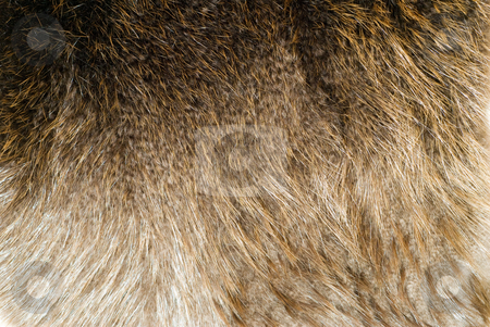 Beaver Pelt stock photo, Closeup view of a beaver pelt with the fur still on it by Richard Nelson