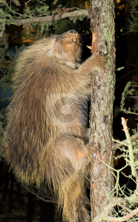 Large Beaver stock photo, A large beaver climbing a tree in the dark by Richard Nelson