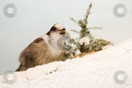 Winter Bird stock photo, A small bird sitting in the snow during the winter by Richard Nelson