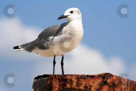 Seagull on a Post stock photo, Seagull perched on a post by Debbie Hayes