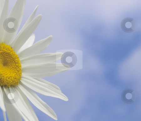Daisy stock photo, A close-up of a daisy against a blue sky by Robert Byron