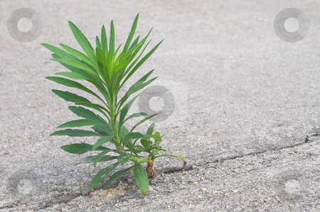 An Undesireable Weed  stock photo, A weed in a cracked piece of concrete. by Robert Byron