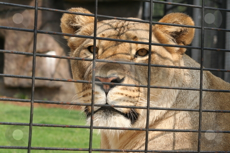 Lioness in a cage stock photo, Una, the lioness mascot for the University of North Alabama. by Debbie Hayes