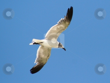 Soaring Seagull stock photo, Seagull soaring above the ocean. by Debbie Hayes