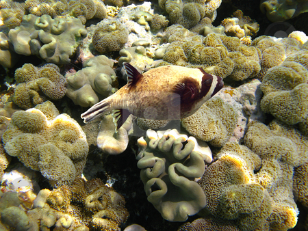 Masked puffer fish stock photo, Tropical fish and coral reef by Roman Vintonyak
