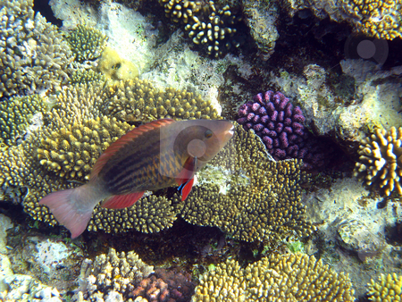Parrot fish stock photo, Tropical fish and coral reef by Roman Vintonyak