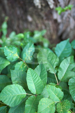Poison ivy clump stock photo, Clump of poison ivy next to a tree. Leaflets three let it be! Narrow DOF by Mitch Aunger