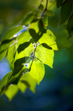 Backlit green leaves stock photo, The sun shining thru bright leaves on a tree - very narrow depth of field by Mitch Aunger