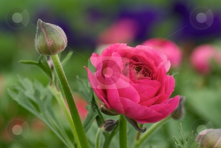 Ranunculus Pink stock photo, Pink Ranunculus Bloomingdale Mix blooming. by Charles Jetzer