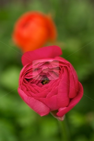 Pink and Orange Ranunculus stock photo, Closeup of a pink Ranunculus with an orange Ranunculus Bloomingdale Mix behind. by Charles Jetzer