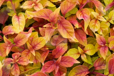 Fuschia Autumdale Foliage stock photo, Close-up of red and yellow mixed Fuschia Autumdale Foliage by Charles Jetzer